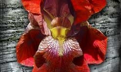 Red Iris Digital Canvas