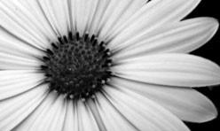 Black & White Daisy