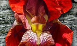 Red Iris Couple